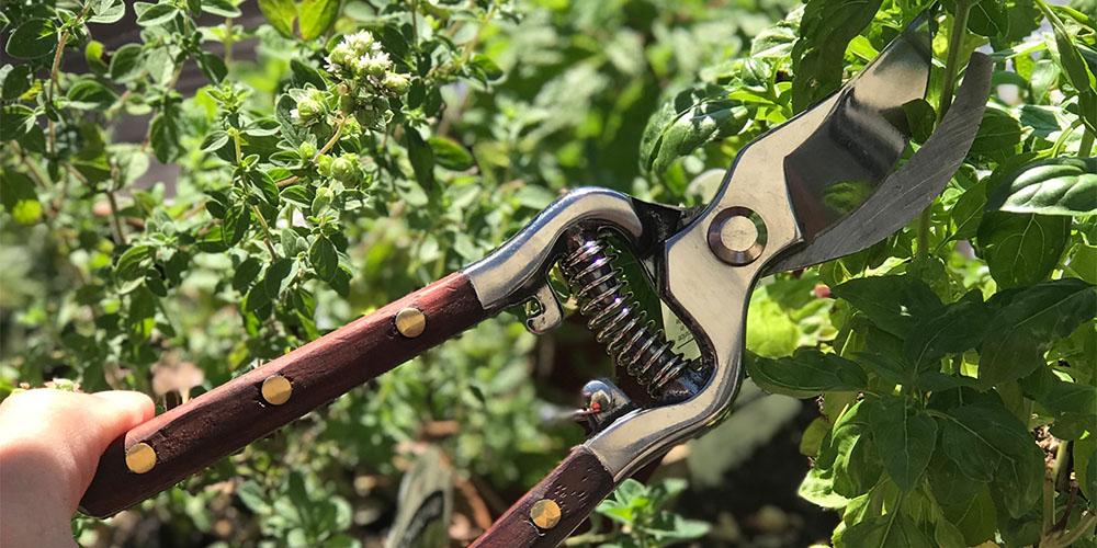 Garden shears trimming herbs.