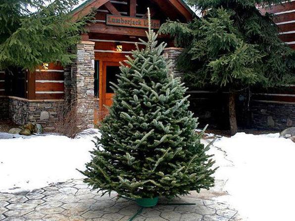 Fraser Fir Christmas Tree (6-7') - Product Image